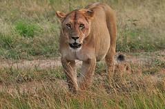 Staring contest: who budges first? (Pim Stouten) Tags: cub kenya lion young safari lioness kenia lwe lon masaimara leeuwin big5 leeuw maasaimara pantheraleo welp leeu