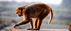 Vrindavan Monkey (BrianRope) Tags: india vrindavan