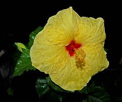 Hibiscus in the Rain (jcc55883) Tags: flower hawaii flora nikon waikiki oahu hibiscus rainy tropicalhibiscus yabbadabbadoo d40 nikond40 vision:outdoor=0862 vision:plant=0911