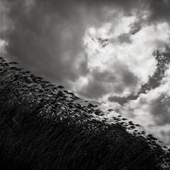 Bend, not break (hjl) Tags: sky blackandwhite storm 6x6 mamiya tlr grass weather clouds mediumformat square landscape wind kodak blowing hc110 120film paloalto tmax400 kodaktmax400 fronds baylands filmphotography c330 kodakhc110 film:iso=400 film:brand=kodak mamiya80mmf28 developer:brand=kodak developer:name=kodakhc110 film:name=kodaktmax400 filmdev:recipe=9321