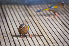 Taiwan Laughing Thrush / Nantou, Taiwan (yameme) Tags: bird nature animal canon eos taiwan    nantou   5d3 5dmarkiii  70300mmlis mountainhohuan