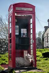 """""""I'll be calling Ewe"""" (RiserDog) Tags: scotland sheep sutherland telephonebox phonebox assynt scottishhighlands clashnessie croftingcommunity"""