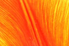 Tulip Petal Texture (gripspix (OFF)) Tags: plant flower detail nature natur pflanze tulip blume tulpe 20140423
