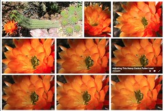 Mosaic Of An Insect Pollinating A Cactus Flower In My Desert Garden (Chic Bee) Tags: arizona cactus collage insect tucson mosaic pollen sonorandesert pollination cactusflower southwesternusa insectidentification orangetorchcactus mydesertgarden sexualreproductioninfloweringplants