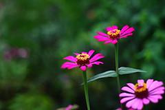 (Johanes Tarigan) Tags: flowers canon lens eos 50mm blurry open purple bokeh background wide ii f18 ef 40d