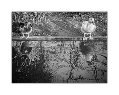 A ton avis, elle est bonne? / In your opinion, the water is hot? (SiouXie's) Tags: city bw reflection nature blackwhite duck fuji noiretblanc reflet rouen normandie normandy ville canard siouxies fujix20