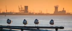 Three Little Birds plus one (Neil Nicklin Photography) Tags: city birds sunrise river photography pier wildlife yorkshire culture neil east kingston hull bp chemicals upon humber saltend kingstonuponhull 2015 nicklin
