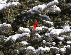 Peek-A-Boo (a56jewell) Tags: winter snow cold tree cardinal jan chickadee simcoe a56jewell