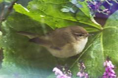 Chiffchaff (Phylloscopus collybita) (Ron van Zeeland) Tags: birds vogels phylloscopuscollybita chiffchaff tjiftjaf balkonvogel