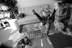 . (rampx) Tags: blackandwhite bw cat jump action neko 猫 ねこ miaw hiyori