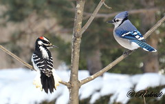 Un doubl  / Double take *** (ricketdi) Tags: woodpecker jay ngc pic bluejay bleu qubec cantley geaibleu oiseauduqubec coth5