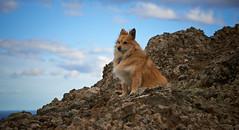 4mai_Thorbjorn_046 (Stefn H. Kristinsson) Tags: dog mountain dogs iceland spring hiking may ma vor hundur sland ganga fjallganga tamron2875mm grindavk hundar grindavik orbjrn nikond800 thornbjorn orbjarnarfell