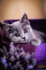 My cat: Sasha (maroc roc) Tags: cute cat eyes lavender british