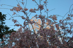 Sun in the Background (Totally Realistic Visionz) Tags: pink blue sky plants nature natural blossoms blooming