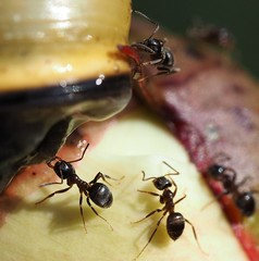 The assault (Simple_Sight) Tags: macro animals closeup tiere outdoor snail ants makro schnecke ameisen