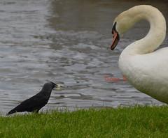 Cygne on partage? (bdomi70) Tags: noir gray blanc cygne saône cygnenoir tuberculé