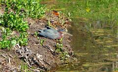 Green Heron Scoping Out The Scene (+David+) Tags: return beautifulday greenheron songbirdpond