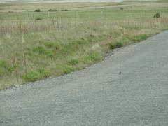 DSCN0689 (Jenny Lynne Semenza) Tags: antelopeisland hornedlark