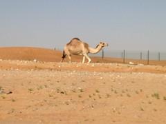 Camel, Al Ain, UAE (Patrissimo2017) Tags: uae camel