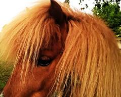 Ashy horse (Mado AwaD) Tags: wild portrait horse brown eye animal hair ma alone sad may blond portret dieren paard ashy mado 2016