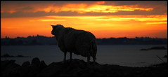 The thinker sheep / breton sunset (lhoteln) Tags: sunset sea france sol beauty del landscape coast spring fantastic solitude view sheep awesome bretagne paisaje cte breizh beaut paysage puesta francia printemps mouton belleza calme tranquilidad bretaa carnero plouezoch