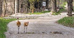 Out For A Stroll (Wes Iversen) Tags: trees signs nature birds brighton michigan wildlife trails milford roads puddles gravel sandhillcranes kensingtonmetropark tamron150600mm
