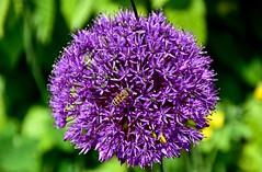 Ail d'ornement (Diegojack) Tags: fleurs nikon ail boules abeilles insectes plantes saintsaphorin nikonpassion d7200