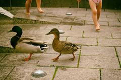 Enten auf der Flucht (shortscale) Tags: ente stockente