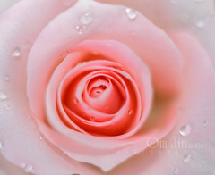 .:: Pinkish ::. (omjinphotography) Tags: pink flowers nature garden petals blossom photoart extensiontube plasticlens 50mmlens botani singleexposure canon1100d rebelt3 omjinphotography