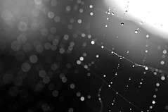 untitled (brescia, italy) (bloodybee) Tags: bw macro nature water droplets bokeh spiderweb cobweb dew 365project