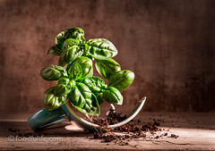 Basil with broken cup (foodfulife) Tags: wood stilllife plant green beautiful leaves horizontal photography wooden herbs board creative fresh basil organic aromatic foodphotography