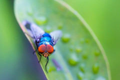 It's complicated (EdgarJi) Tags: blue red macro green nature animal insect fly leaf 6d compoundeye 100mmf28l