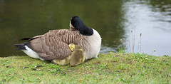 Sleep Tight (cuppyuppycake) Tags: green bird nature animal nikon outdoor sleep canadian goose sleepy tired cuddle gosling honk d7200