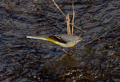 2016_05_0190 (petermit2) Tags: abbey nt yorkshire fountains fountainsabbey nationaltrust northyorkshire wagtail studleyroyal studleypark greywagtail riponstudleyroyalpark