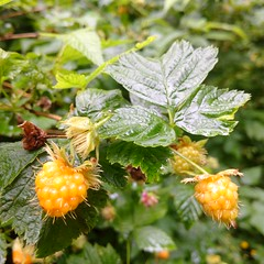 Berry interesting (gowersaint) Tags: europe ireland donegal garden plant rain fruit leaves nature natural cultivation