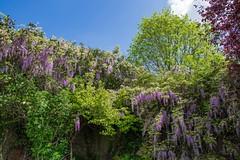Wisteria (Rob Jennings2) Tags: plant climber shrub wisteria bracknell binfield wyevale wyevalegardencentre