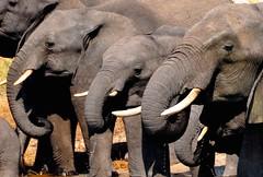 Botswana- Chobe NP (venturidonatella) Tags: africa elephant animals wildlife elephants botswana zanna chobe animali elefante d300 savana elefanti chobenationalpark nikond300