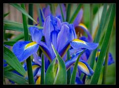 Fridays Flower Power (karin_b1966) Tags: iris plant flower nature garden blossom natur pflanze blume blte garten 2016