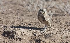 Burrowing Owl (Athene cunicularia); Los Lunas, NM [Lou Feltz] (deserttoad) Tags: newmexico bird nature desert raptor owl migration behavior owlet wildbird