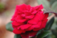 Red  rose (Rajavelu1) Tags: red plant flower green art rose creative artland macrophotograph canon6d