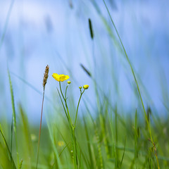 Sweet Meadow (paulapics2) Tags: buttercup grasses me flower meadow wildflower yellow blumen flora floral green selectivefocus sky canon5d sigma105