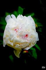 First Peony (Valery_RW) Tags: flowers summer canada winnipeg first peony manitoba 2016