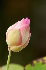 lotus d'orient ( Nelumbo nucifera ) Bueng Chawak 160508b2 (pap alain) Tags: fleurs thalande nelumbonucifera lotusdorient lotussacr buengchawak