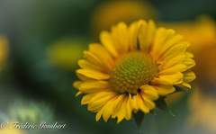 the cloudy morning light (frederic.gombert) Tags: flowers light orange sun flower color macro green colors yellow garden dof cloudy greatphotographers macrodreams