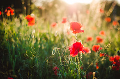 Poppies I. (jakub.sulima) Tags: world pink flowers light sunset red orange plants naturaleza sun sunlight plant blur flores flower green nature fleur beautiful beauty field grass june yellow wonderful garden walking outside 50mm gold golden evening countryside spring flora nikon colorful pretty colours village blossom bokeh outdoor natur meadow poland sunny polish natura pale poppy poppies bloom serene nikkor f18 powerful glade intensive bokehlicious d7000