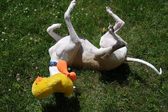 Rolling with Duckie (DiamondBonz) Tags: dog pet grass play hound whippet roll duckie spanky