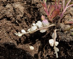 Sand Milkwort (Polygala polygama) underground flowers (John Scholze) Tags: flowers wisconsin underground sand wildflower polygala milkwort polygama