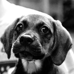 Keylime_Pie02Jul1600008-Edit.jpg (fredstrobel) Tags: atlanta blackandwhite usa pets dogs animals ga places phototype pawsdogs pawsatanta