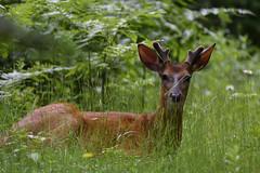 Cerf de Virginie -- White-tailed Deer (Sylvain Prince) Tags: chevreuil deer sigma150600