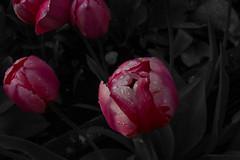 Tulip (mightymightymatze) Tags: flowers summer flower garden schweiz switzerland tulips sommer zurich blumen tulip zrich blume garten tulpen tulpe zri 2016